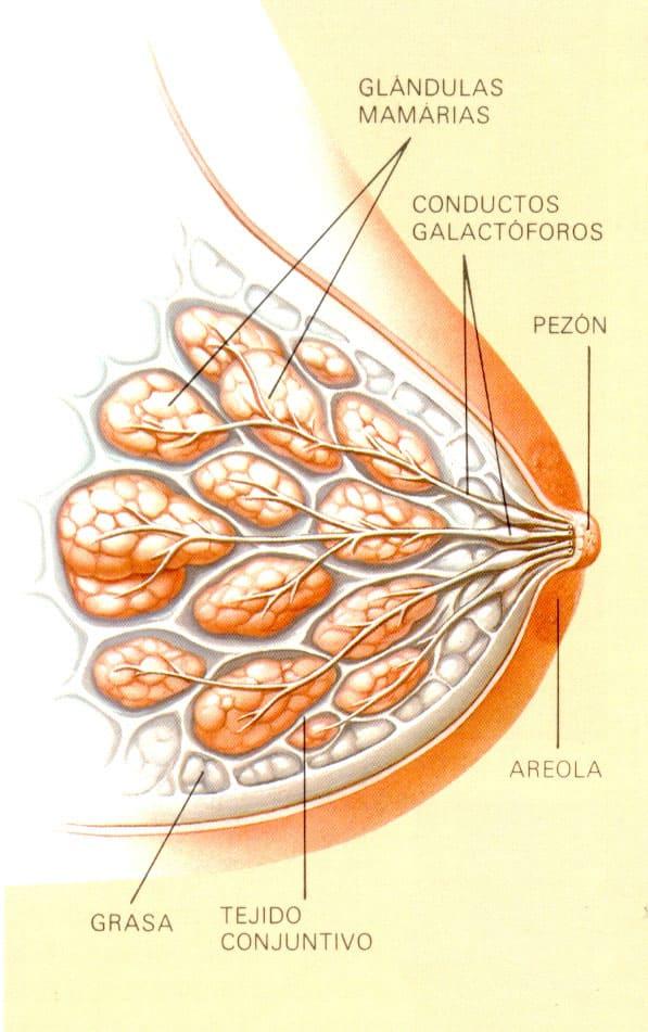 Reducción de pecho. Morfología de la mama